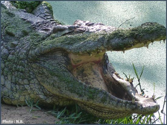 nous aurions plutôt affaire à une vaste mangrove peuplée de moult crocodiles à la langue bien chargée