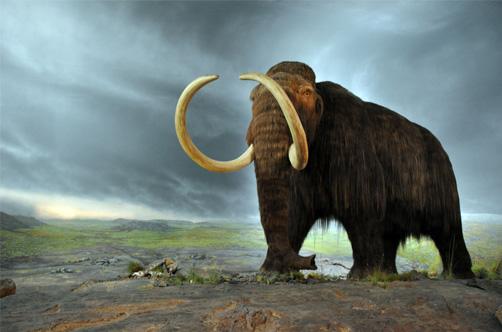 Reconstitution d'un Mammouth laineux au Royal BC Museum